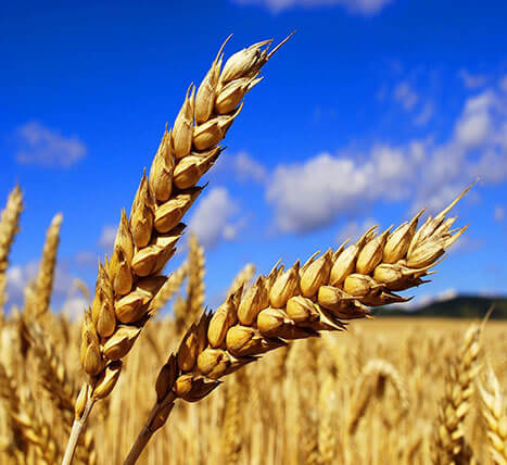 «Wheat» Grain and oil-bearing crops