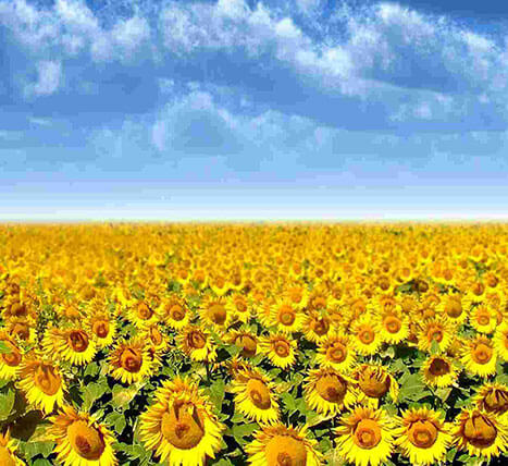 «Sunflower» Grain and oil-bearing crops